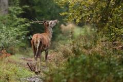 jelen mladý (2)