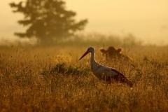 čáp-pastviny